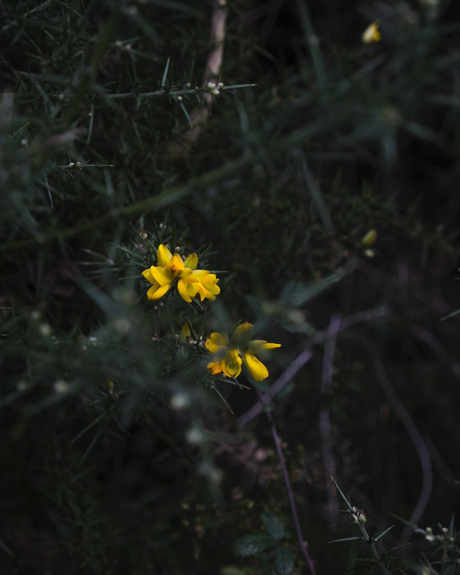 A yellow flower surrounded by dark green leaves.